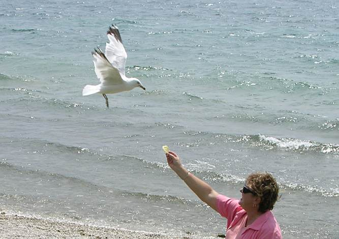 Feeding a ring billed gull on Mackinac Island