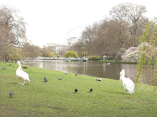Pelicans in St. James Park - London