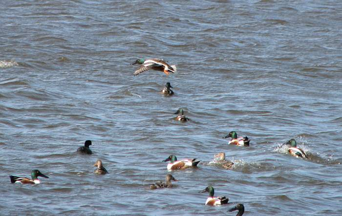 Shovelers and American Coot at Squaw Creek National Wildlife Refuge