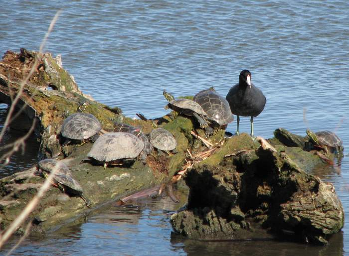 Western Painted Turtles, Red-eared Slider, and American Coot