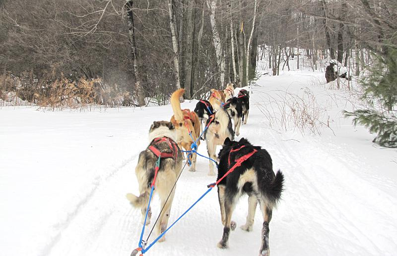 sled dogs entering the woods at Boyne Highlands