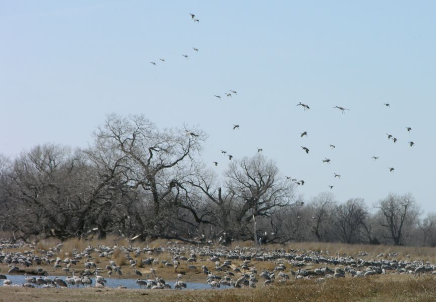 Sandhill cranes about 1 mile from Rowe Sanctuary in Nebraska